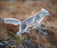 Arctic Fox by Georg Amazing World beautiful amazing