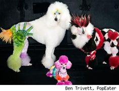 How did I get started looking at extreme poodles?