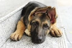 The German Shepherd is a generally healthy breed with an average lifespan of 12-13 years.