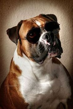 Boxer Pictures - Pictures of Boxer Dogs