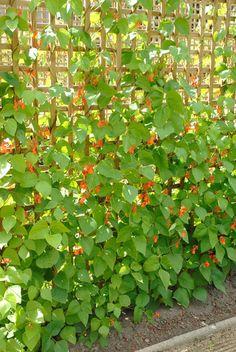 Haricot d'Espagne: Annuelle (vivace non rustique au québec) Décorative et comestible.