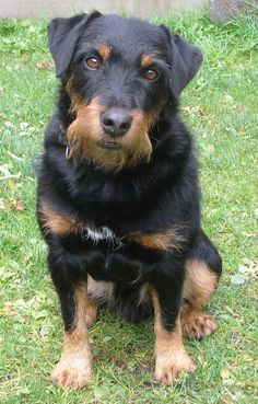 Jagdterrier, Deutscher, German Hunt Terrier, Irish Black and Tan Jack Russell… Curly Coated Retriever, Dog Breeds Pictures, Dog Pictures, Pet Dogs, Dogs And Puppies, Dog Cat, Braque Du Bourbonnais, Calm Dog Breeds, Dog Breeds That Dont Shed