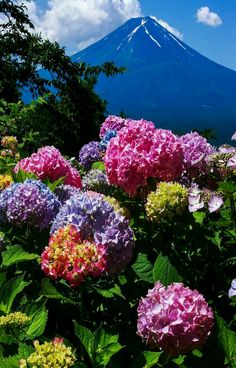 Someone, please write something. Hortensia Hydrangea, Hydrangea Garden, Hydrangeas, Beautiful Landscapes, Beautiful Gardens, Amazing Flowers, Beautiful Flowers, Spring Flowers, Wild Flowers