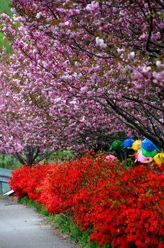 South Korea 문수사의 겹벚꽃이 활짝 피었다. 서산 하면 제일 먼저 생각나는 절은 개심사이다. 그러나 개심사에서 그리 ...