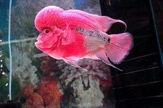Live Freshwater Aquarium Fish - Find incredible deals on Live Freshwater Aquarium Fish and Live Freshwater Aquarium Fish accessories. Let us show you how to save money on Live Freshwater Aquarium Fish NOW! Pretty Fish, Beautiful Fish, Underwater Creatures, Ocean Creatures, Colorful Fish, Tropical Fish, Salt Water Fish, Freshwater Aquarium Fish, Water Animals