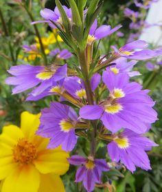 Au jardin, couleurs complémentaires, Bosdarros, Béarn, Pyrénées Atlantiques, Aquitaine, France.