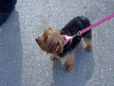 The Mistake You Are Making That Causes Your Puppy to Pull On The Leash. #FREE #VIDEO on how to correct this Click Here