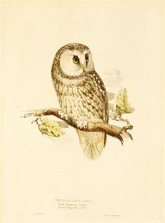 size: Giclee Print: Illustration of Tengmalm's Owl Art Print by Edward Lear by Edward Lear : Bird Illustration, Illustrations, Art Nouveau, Art Deco, Street Art, Owl Bags, Owl Always Love You, Canvas Prints, Art Prints