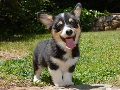 What I lack in legs, I make up for in personality! I <3 Corgis so hard ( I also have an inseam of like 27inches so I suspect they are my spirit animal :)