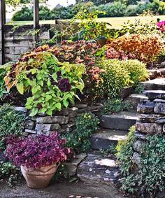 Coleus Plants: Varieties, Care & Growing Them - This Old House Coleus Care, Endless Summer Hydrangea, White Flower Farm, Yellow Leaves, Potting Soil, Propagation, Container Plants, Lawn And Garden, Old Houses