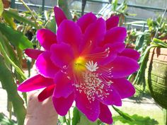 The Epiphyllum Garden: June 2012