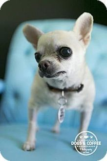 Scottsdale, AZ - Chihuahua Mix. Meet Sissy, a dog for adoption. http://www.adoptapet.com/pet/17816287-scottsdale-arizona-chihuahua-mix