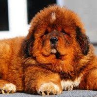 #dogalize Razas de Perros: Mastin Tibetano caracteristicas #dogs #cats #pets