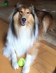 Scotch Collie, Livestock, Corgi, Animals, Dogs, Animales, Animaux, Corgis, Animal