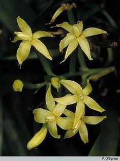 Orchid: Apostasia wallichii