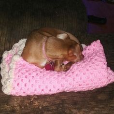 Someone mad herself comfy. #hoth #babyblanket #mommyscasualcrochets #redheartyarns #babygirl #baby #grannyrectangle #red #chihuahua #chihuahualife #crochet #crochetblanket #orderup #complete @njlove222 by mommyscasualcrochets