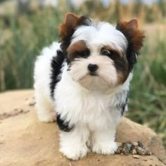 Facts On The Sprightly Yorkshire Terrier Puppy Grooming Yorkshire Terrier Dog, Biewer Yorkshire, Yorkies, Maltipoo, Cute Dogs And Puppies, Yorkie Dogs For Sale, Mixed Breed Puppies, Yorkie Puppy, Toy Pomeranian