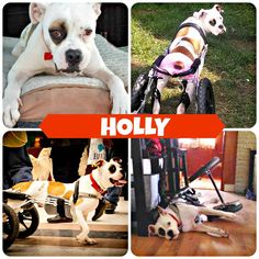 """""""Hot Wheels Holly"""" is now a permanent member of her foster dad's family!!  Congrats to this sweet girl for finding her furever home and dad!"""