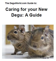 Make your own degu toys
