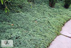 Juniperus horizontalis 'Icee Blue' ('Monber') ®  - Jałowiec płożący 'Icee Blue' ('Monber')