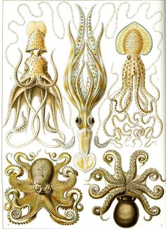 I love Ernst Haeckel's illustration. Especially when he does an octopus.