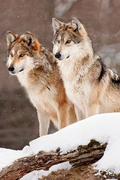 Mexican Grey Wolves ~ by Scott Denny