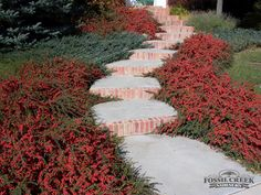Cotoneaster horizontalis, Rock Spray Cotoneaster, mounded, semi evergreen