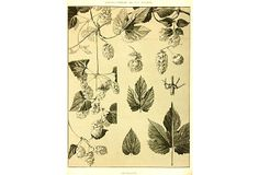 Hops, 1903 on OneKingsLane.com. French hand-pulled lithograph of the Houblon or Hops used in making beer from 1903. Making Beer, Vintage Botanical Prints, How To Make Beer, French, Holidays, Holidays Events, French People, Holiday, French Language