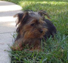 Petfinder  Adoptable | Yorkshire Terrier Yorkie | Dog | Saint Louis, MO | Twiggy