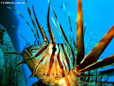 Great shot of a Lionfish taken while diving FishRock Cave, New South Wales, Australia.
