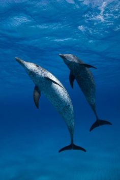 Spotted dolphins.