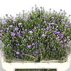 Aster casamare lilac