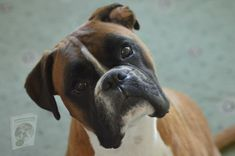 Boxer Breeders, Boxer Dog Breed, Boxer Dog Puppy, Beagle, Boxer Puppies For Sale, Dogs For Sale, Dogs And Puppies, Best Dog Food, Best Dogs