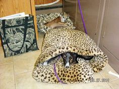 """""""This is a picture of Lola and Mia. They truly enjoy their WallyBeds when they go to the office with Debbie. Too cute!"""" #italiangreyhounds #dogs #petbeds"""