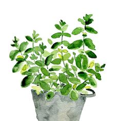Mint plant in a tin planter, print of l watercolor painting, herb, kitchen art…