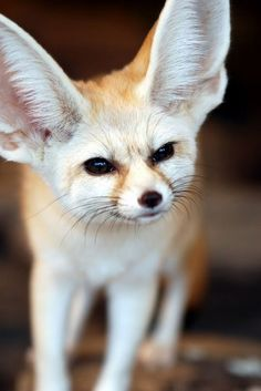 Jonesy & Huck need a Fennec Fox brother or sister!