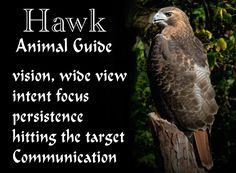 Hawk, Animal Guide profile. My personal experiences with Hawk as my Animal Guide as well as my view on how best to work with him and how he can help you. Animal Spirit Guide.