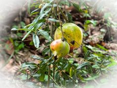 pomegranate by spkiow  IFTTT 500px closeup flower food fruit green health healthy leaves natural orange plant pomegranate