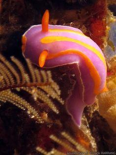 Mexichromis trilineata nudibranch. Beautiful colors!