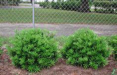 Kingswood Nurseries Inc. - Podocarpus Dwf. Pringilii/Podo Macrophylla Pringle
