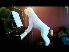 Singing/Piano playing Schnoodle - I laughed so hard! I want a piano playing dog. Jouer Du Piano, Funny Animals, Cute Animals, Animal Funnies, Nanny Cam, Playing Piano, Puppy Love, Cute Dogs, Funny Dogs