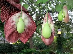 Nature in all its forms, including the Aristolochia gigantean, abounds in the gardens. Photo by Eric Long, Courtesy the Smithsonian Gardens Unusual Flowers, Unusual Plants, Rare Flowers, Rare Plants, Exotic Plants, Types Of Flowers, Amazing Flowers, Cactus Plants, Beautiful Flowers