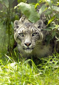 ~~Snow Leopard - peering out by wendysalisbury~~