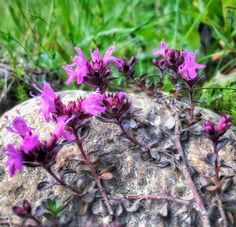 Kukka Varanginvuonossa