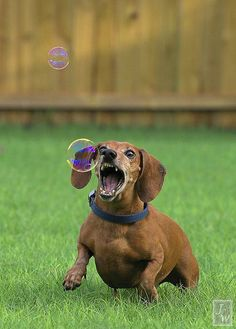 There should be a photo that shows this weiner's expression after that bubble pops! #cute #doxie #dachshund My dachshund loves bubbles!