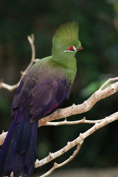 Bird_33  Green Crested Turaco by smartipants411, via Flickr