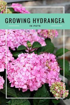Perennials Learn all about growing hydrangea in pots including how to plant them, what growing conditions they prefer, how to make your hydrangea changes colors and how to overwinter hydrangea in pots and urns. It's so much easier than you think! Flower Garden, Plants, Growing Hydrangeas, Flowering Shrubs, Beautiful Flowers Garden, Organic Gardening Tips, Beautiful Flowers, Perennials, Landscaping Plants