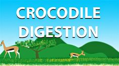 Animation explaining how a crocodile digests its prey. http://go-repairs.blogspot.co.uk/2014/07/crocodile-digestion.html