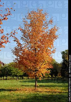 Green Column Sugar Maple~ A close relative of the Sugar Maple. A beautiful tree prized for its drought tolerance and stunning fall color. Garden On A Hill, Shade Trees, Backyard Projects, Acer, Garden Landscaping, Shades, Sugar, Landscape, Fall
