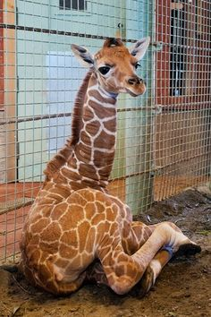 "San Francisco Zoo welcomed a healthy female Reticulated Giraffe calf early in the morning of May 22nd. At birth, the calf was 130 pounds and 5'10"" tall. Animal keepers report that the new calf has had positive interaction with the adult giraffe group and ""has a lot of spunk."""